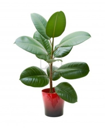 rubber plant (ficus), isolated on white Stock Photo - 10223825