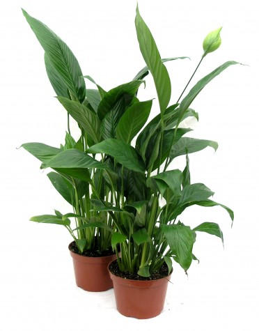 Spathiphyllum Peace Lily Cupido